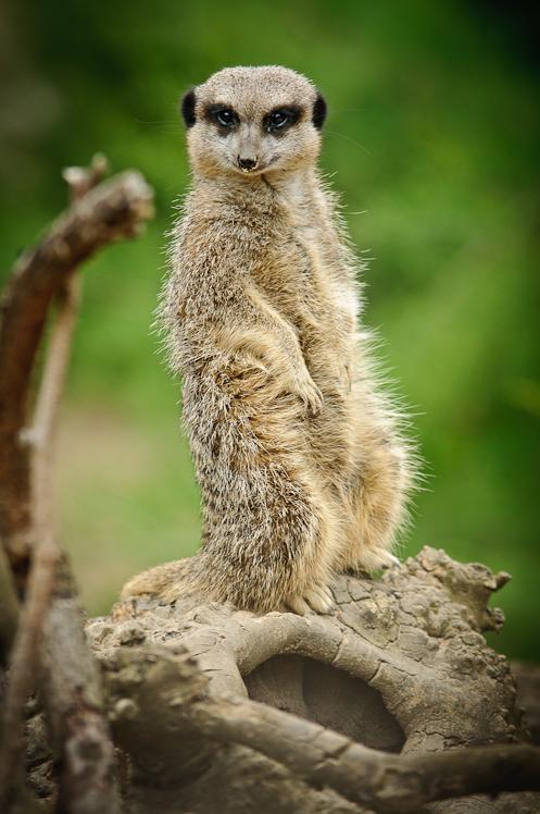 Meerkat @ London Zoo I