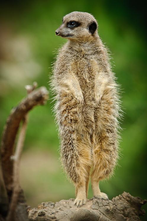 Meerkat @ London Zoo III