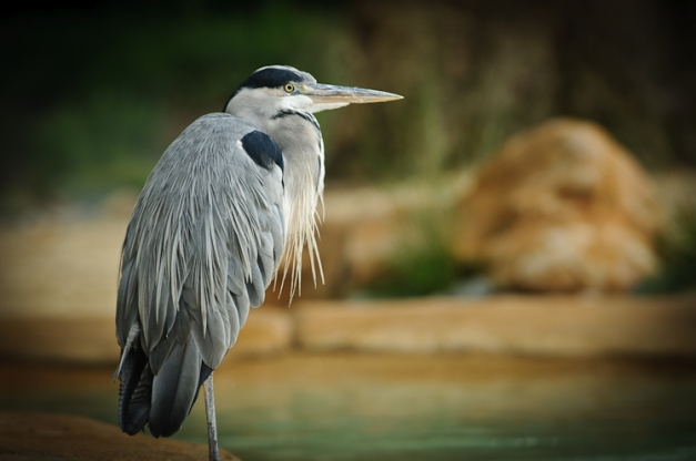 Heron @ London Zoo